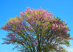 Prunus sur ciel bleu*******************