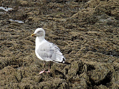 A lone seagull on the rocks