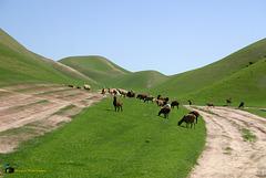 Afghan Arabi