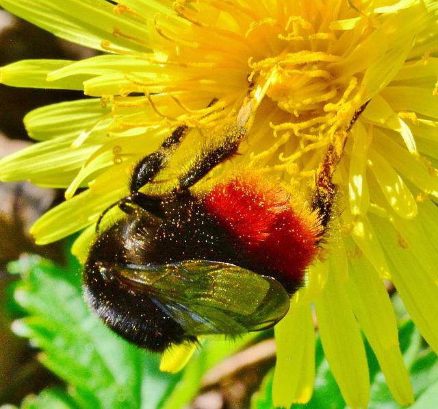 Red bottomed Bee on Dandelion