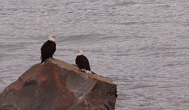 Eagles In Haines Alaska