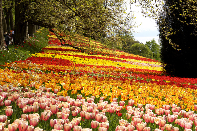 """Symphonie der Tulpen"" auf dem Insel Mainau"