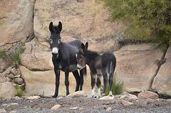 Bolivia, Catal River Valley, Wild Donkeys