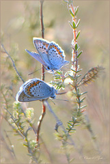 Silver-studded Blue ~ Heideblauwtjes (Plebejus Argus), males...