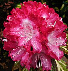 Rain drops and petals