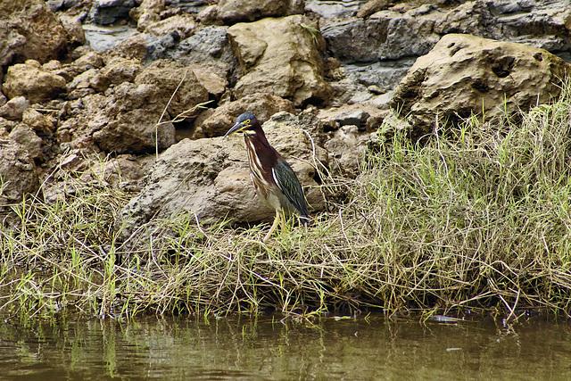 Green Heron – Jungle Crocodile Safari, Tárcoles, Puntarenas Province, Costa Rica