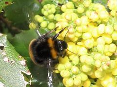 BumblebeeIMG 1054