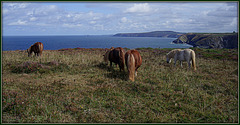 Shetland Ponies, Treaga Hill, Portreath, Cornwall