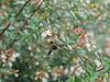 Bee on abelia