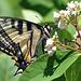 st bruno swallowtail jun 20 2020 CSC 1549