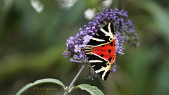 Papillon Écaille chinée ou Callimorphe (Euplagia quadripunctaria)