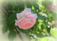 Rose pour les amis ipernitiens .. Bon dimanche