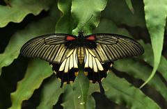 Papilio lowi great yellow Mormon DSC 0609