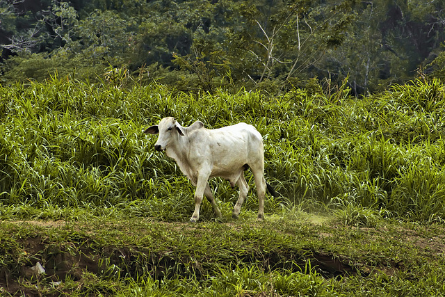 Brahman Bull on the Bank – Jungle Crocodile Safari, Tárcoles, Puntarenas Province, Costa Rica