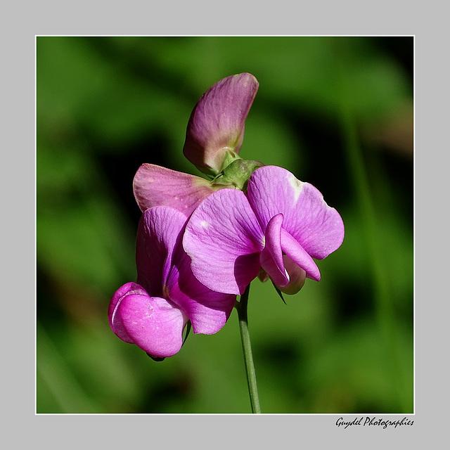 Lathyrus latifolius ...