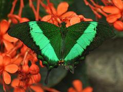 Papilio palinurus Machaon émeraude CSC 0671