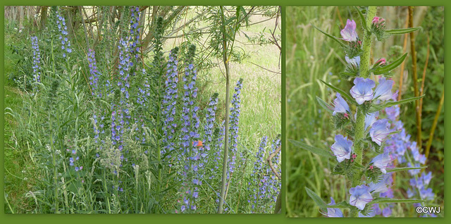 """Along my path is bugloss blue..."" (George Meredith) The rather oddly named Viper's Bugloss - Echium Vulgare it was once used as an anti-venom for bites from the spotted viper -so now you know!"