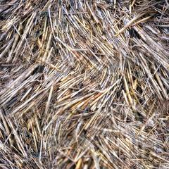 dry winter reeds