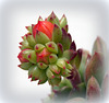 succulent buds