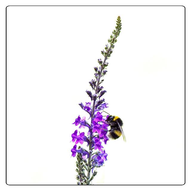 Bee on Purple Toadflax