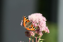 Small Tortoiseshell Butterfly on Hemp A J20-01