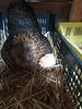 Au nid , premier de la couvée