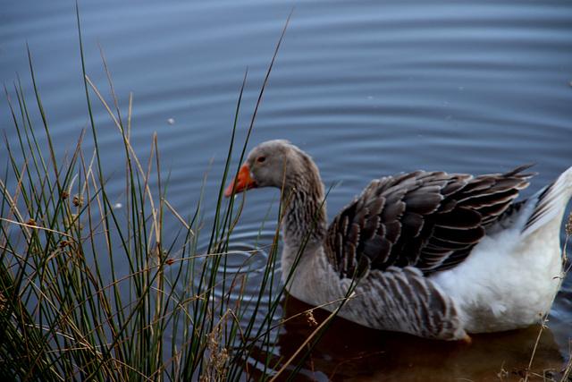 oie sur l'étang