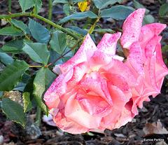 Roses At Whakatane Gardens