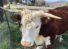 HFF from a brown cow