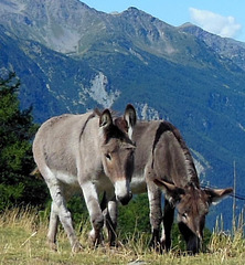 Mes amis des Alpes ! My friends in the Alps!