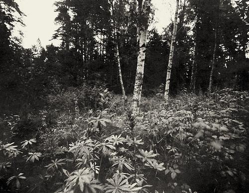 Waldstück bei Risatorpet. Aufnahme auf 4x5 Fotopapier // 01-wald-01-08-18-sepia-scharf