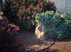 Red shrubs and dwarf juniper
