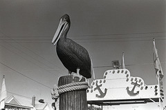 The Big Pelican