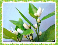 My Tangelo Bush Flowering.