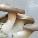 Edible King Oyster mushrooms, Akesi Farms