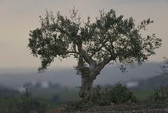 Oliveira, Olea europaea, Misty day