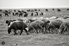 Fat-tailed sheeps in Afghanistan