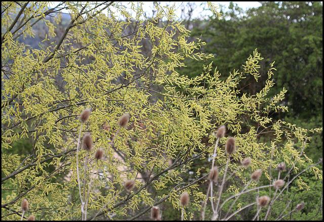 Salix sp (1)