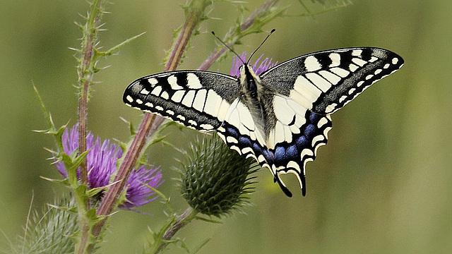 fil(et) à papillons - Page 7 39211870.60dde6e5.640