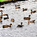 A Paddling Of Ducks,