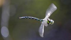 Aeshne bleue en vol