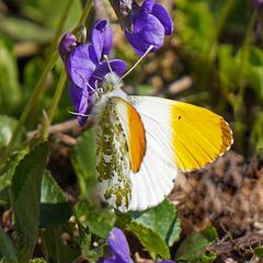 Einer der ersten Frühlingsboten - One of the first spring heralds - PiP