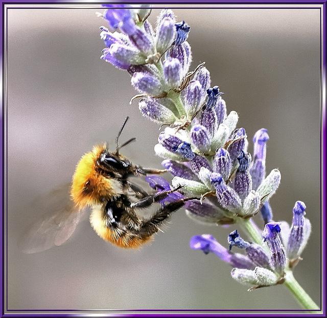 Bumblebee on landing... ©UdoSm