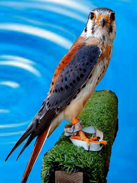 Buntfalke. (Falco sparverius)  ©UdoSm