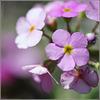 Zart, klein und rosa...