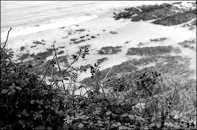 Blackberries, Gower.