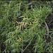 Salix sp (2)