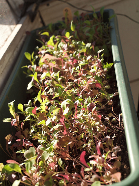 lettuce see...