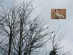 Family of Goldfinches