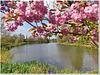 Quand le Cerisier du Japon fleurit...